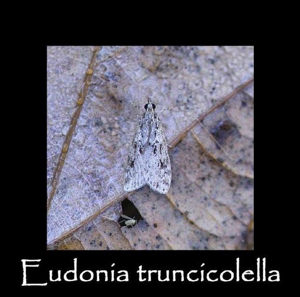 S Eudonia truncicolella 2 (2)
