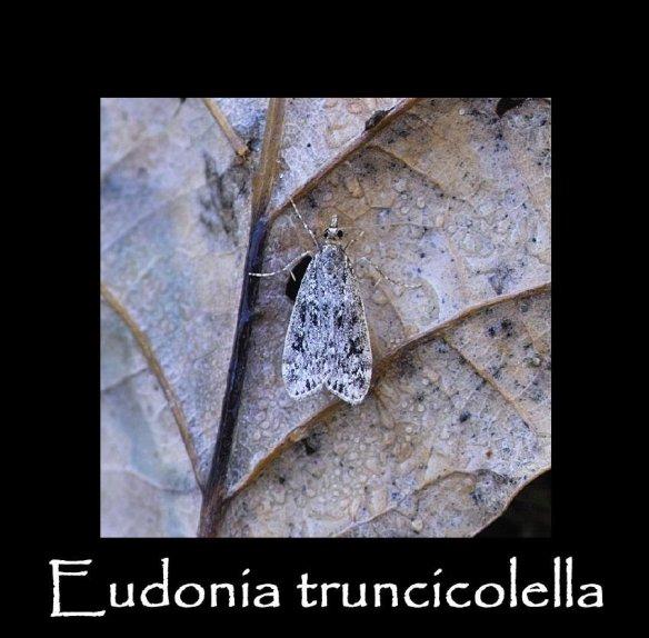 S Eudonia truncicolella (2)