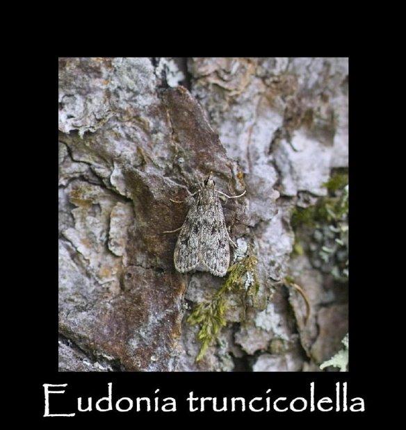 S Eudonia truncicolella