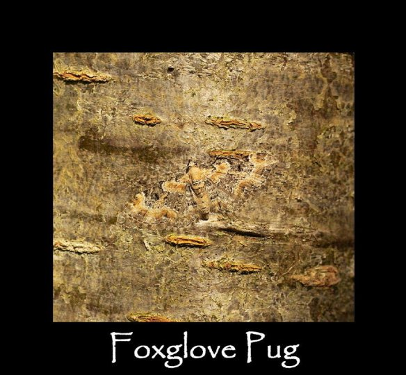 S Foxglove Pug