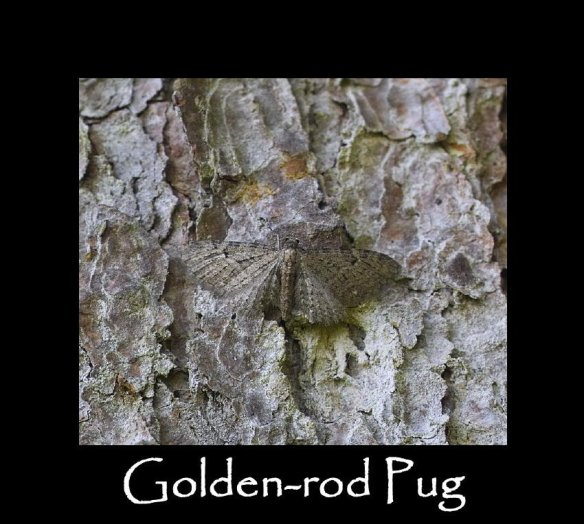 S Golden-rod Pug (2)