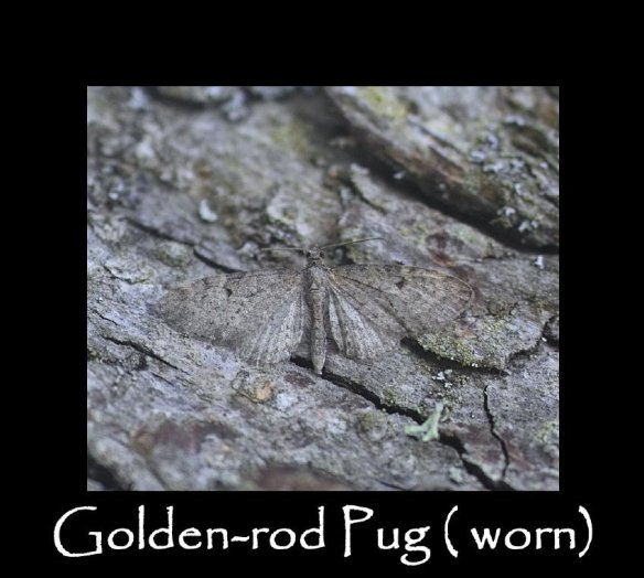 S Golden-rod Pug ( worn) (2)