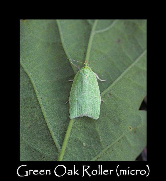 S Green Oak Roller (micro)