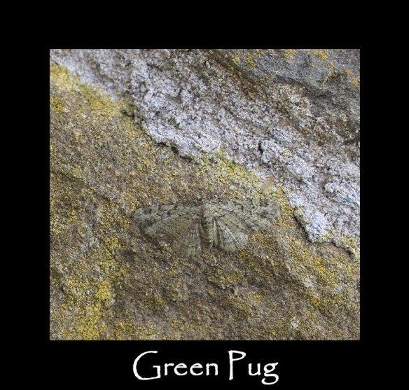 S Green Pug