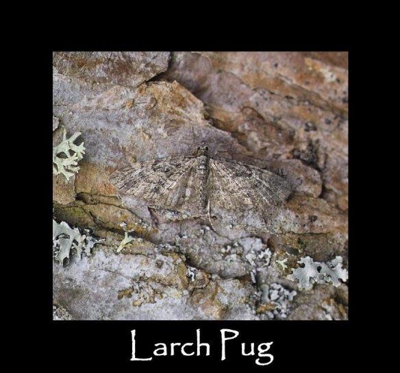 S Larch Pug (2)