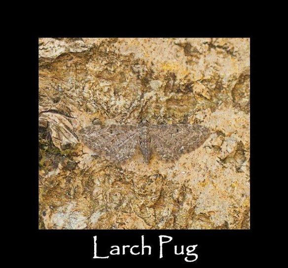 S Larch Pug