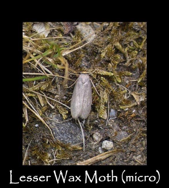S Lesser Wax Moth (micro)