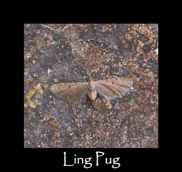 S Ling Pug (2)