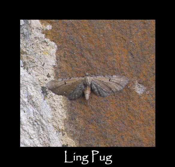 S Ling Pug