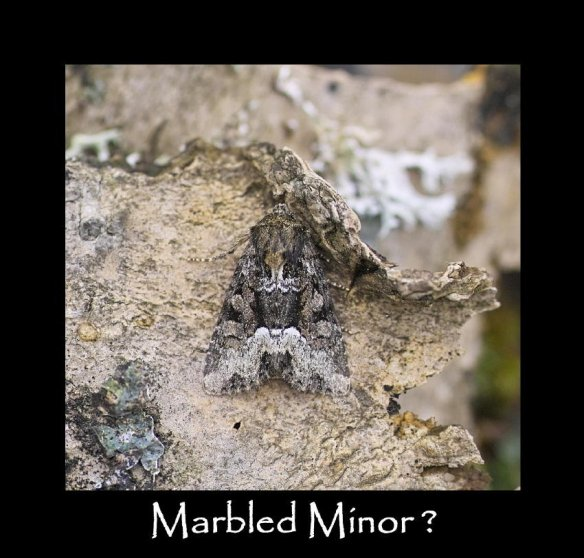 S Marbled Minor