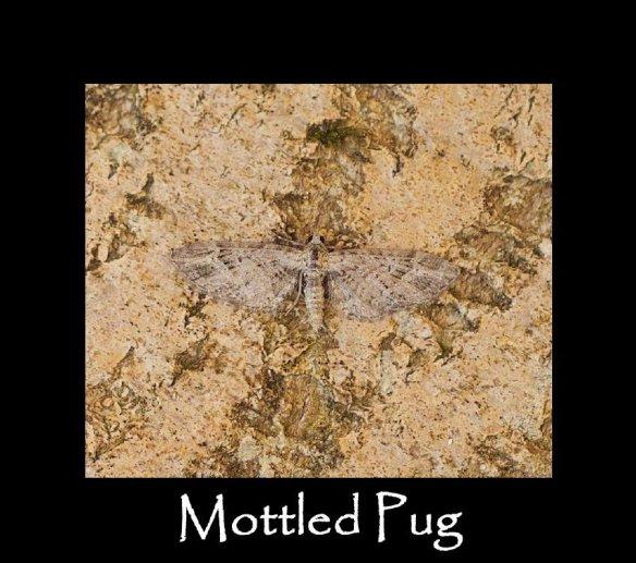 S Mottled Pug (2)