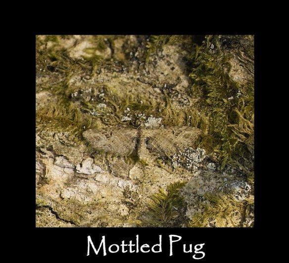 S Mottled Pug