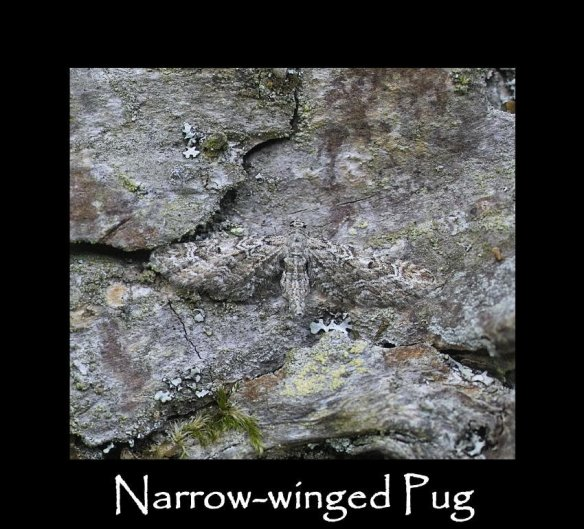 S Narrow-winged Pug