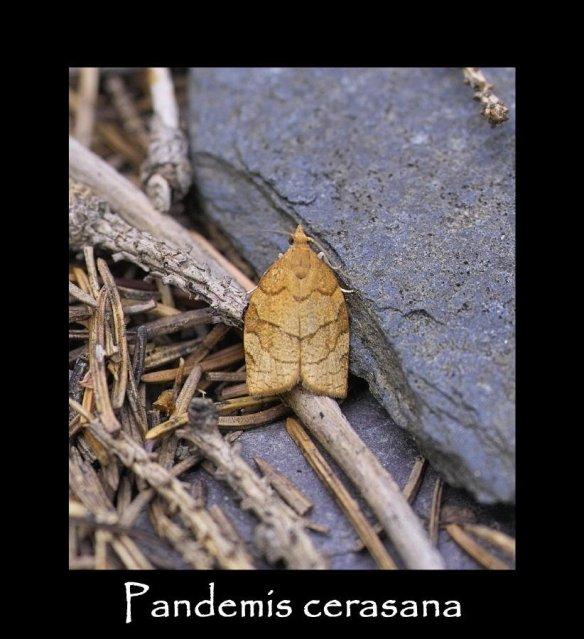 S Pandemis cerasana
