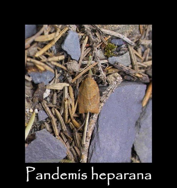 S Pandemis heparana (2)