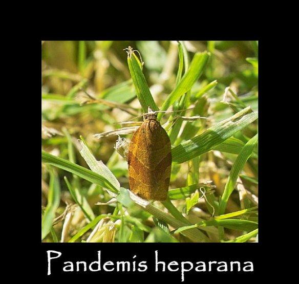 S Pandemis heparana