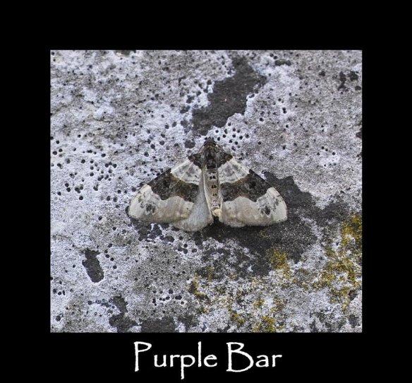 S Purple Bar