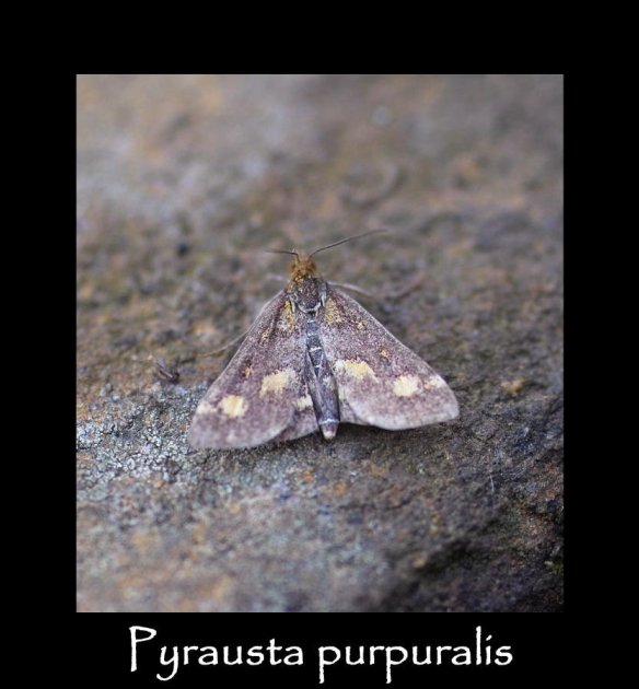 S Pyrausta purpuralis (2)