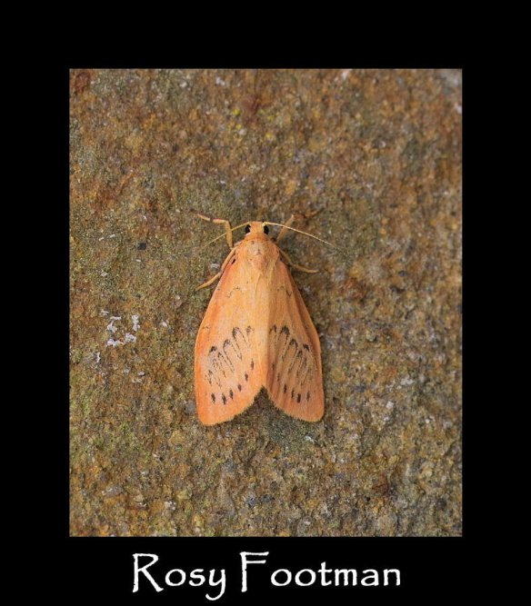S Rosy Footman