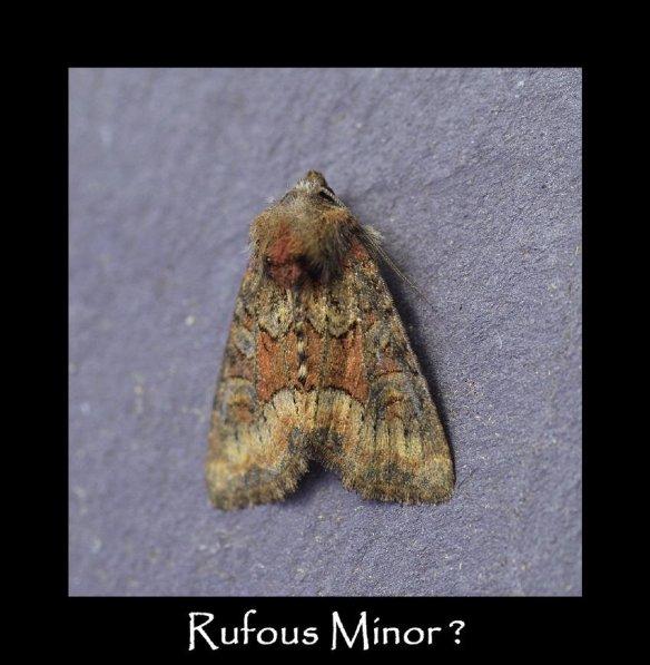 S Rufous Minor