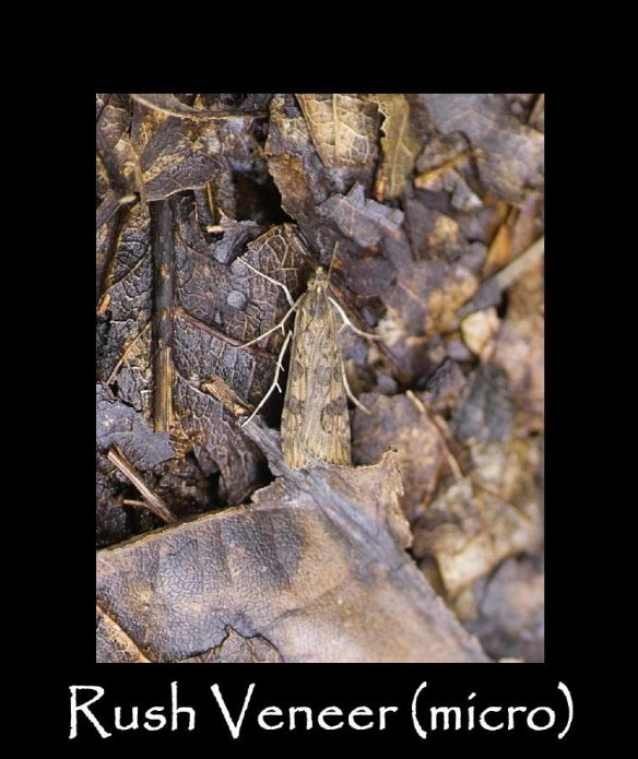 S Rush Veneer (micro) (2)