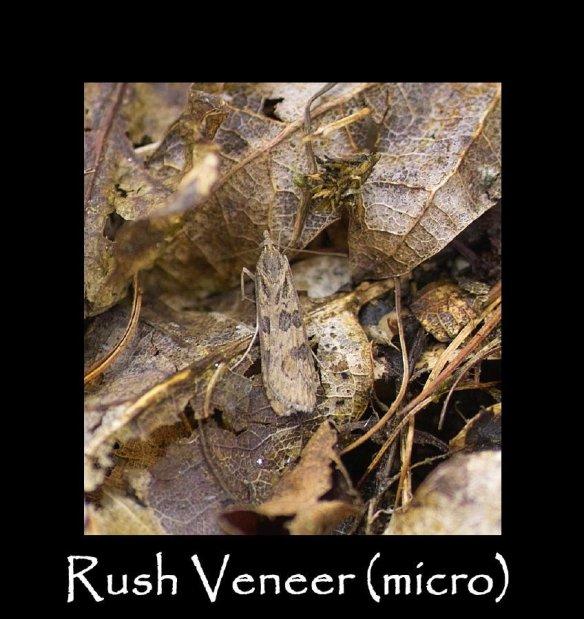 S Rush Veneer (micro)