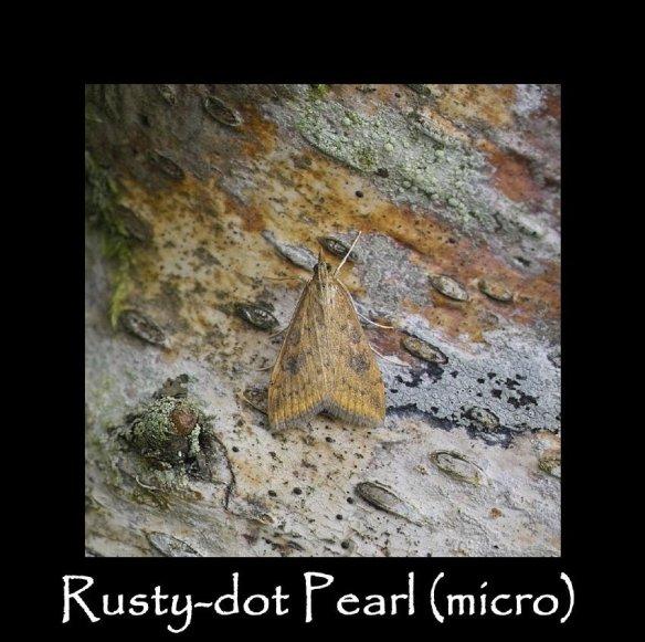 S Rusty-dot Pearl (micro)