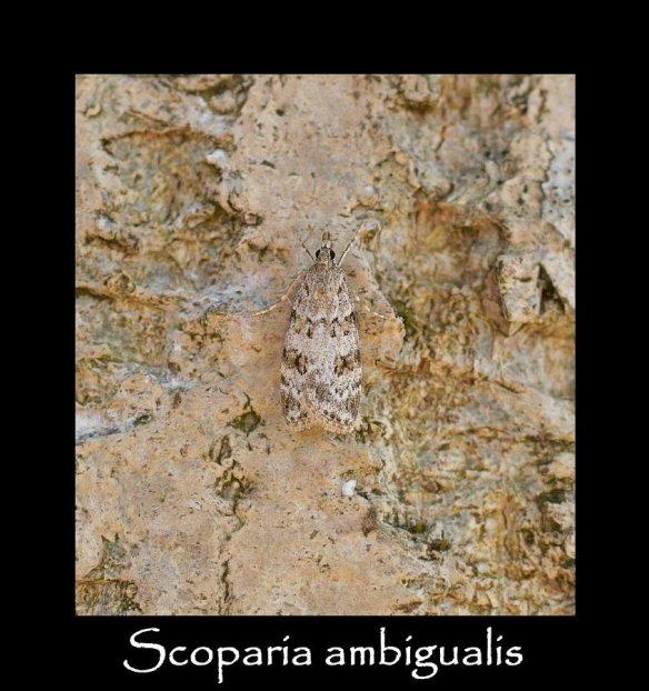 S Scoparia ambigualis (2)