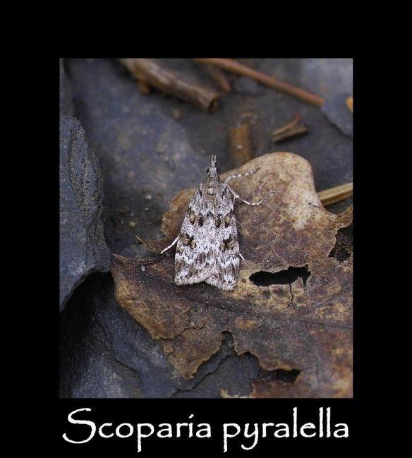 S Scoparia pyralella