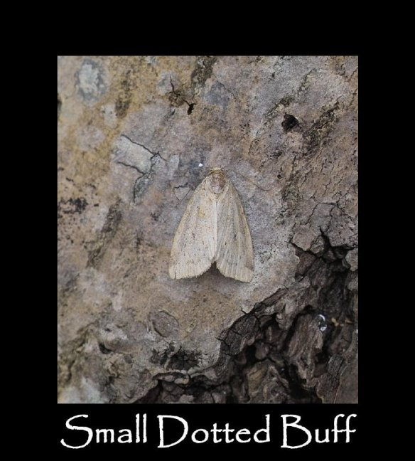 S Small Dotted Buff