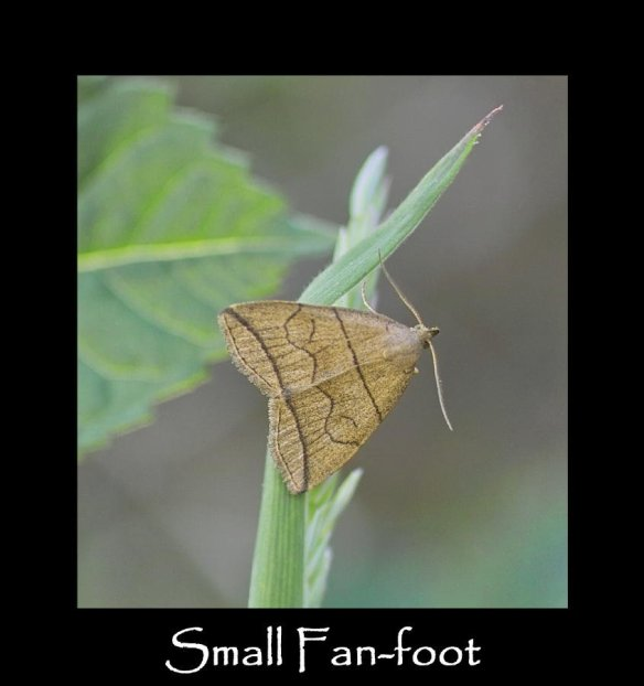 S Small Fan-foot