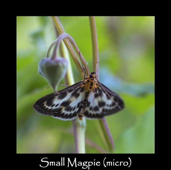 S Small Magpie (micro) (2)