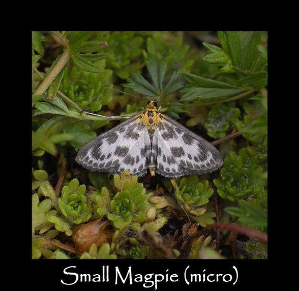 S Small Magpie (micro)