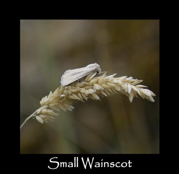 S Small Wainscot 2 (2)