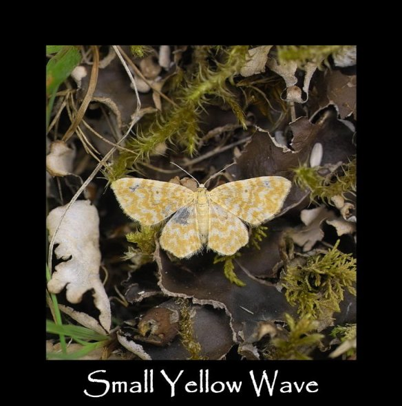 S Small Yellow Wave