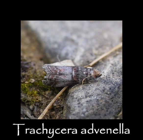 S Trachycera advenella 2 (2)