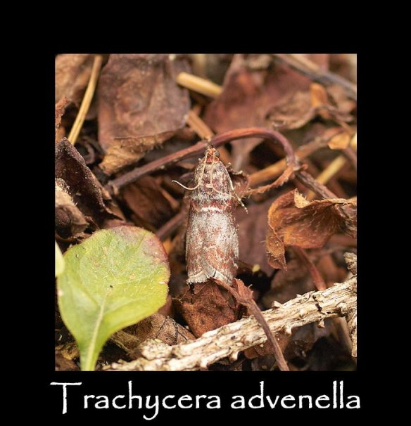 S Trachycera advenella (2)