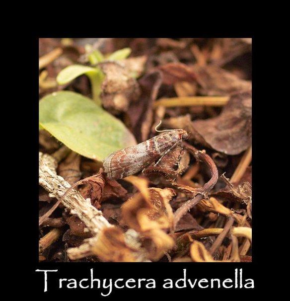 S Trachycera advenella