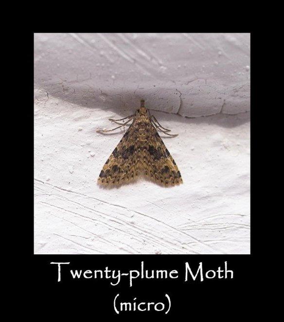 S Twenty-plume Moth (micro) (2)