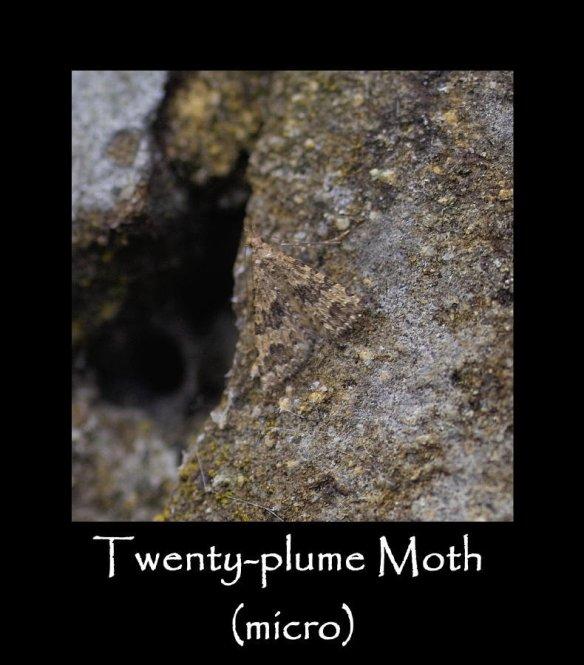 S Twenty-plume Moth (micro)