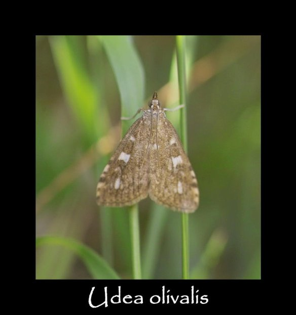 S Udea olivalis