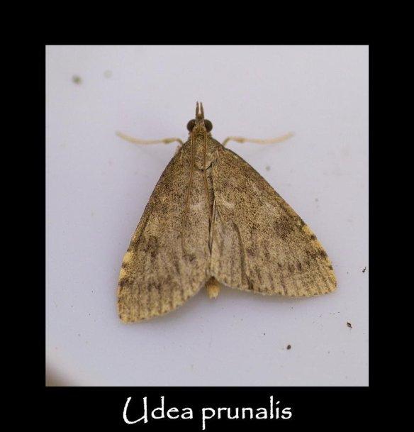 S Udea prunalis 2 (2)