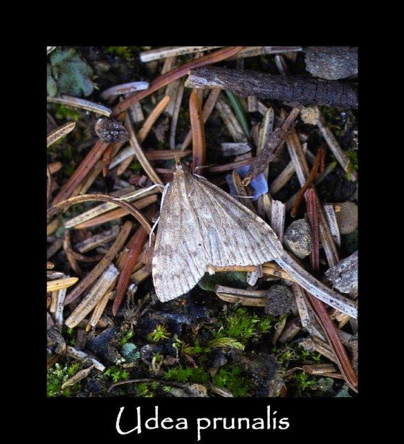 S Udea prunalis (2)