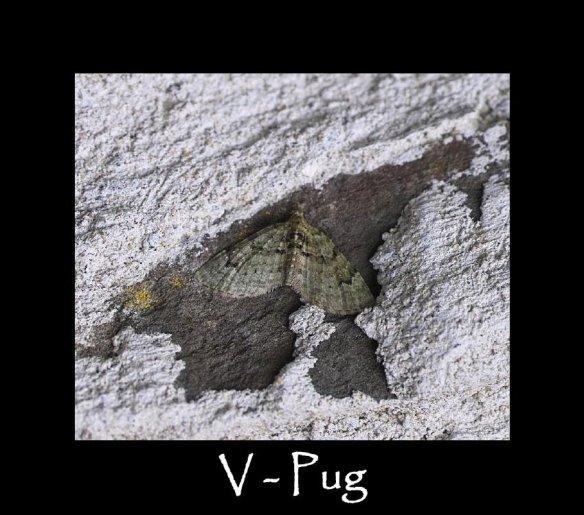S V - Pug