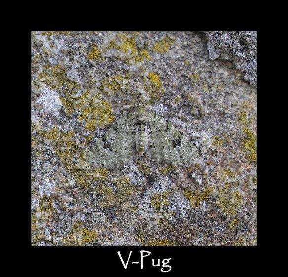 S V-Pug