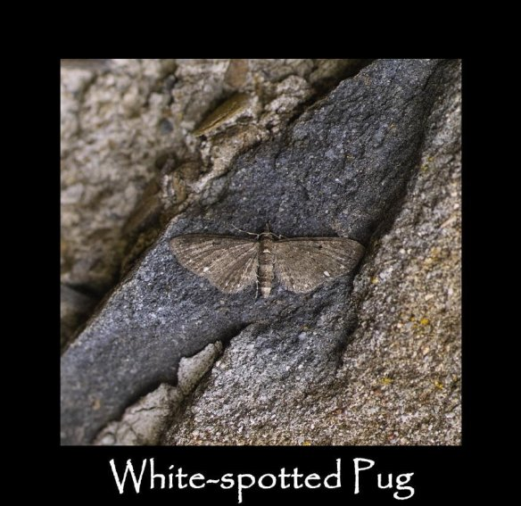 S White-spotted Pug (2)
