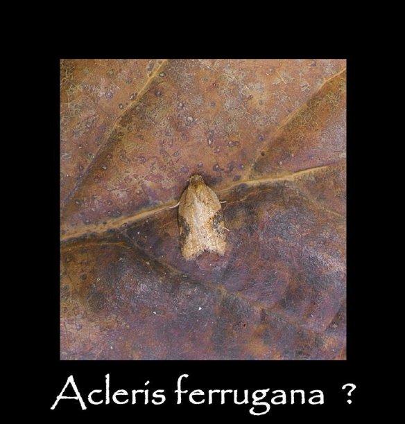 T Acleris ferrugana