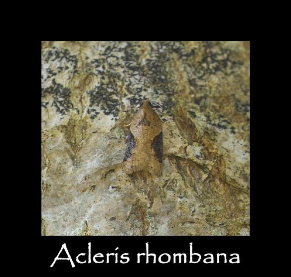 T Acleris Rhombana (2) (2)