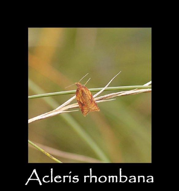 T Acleris rhombana (4) (2)