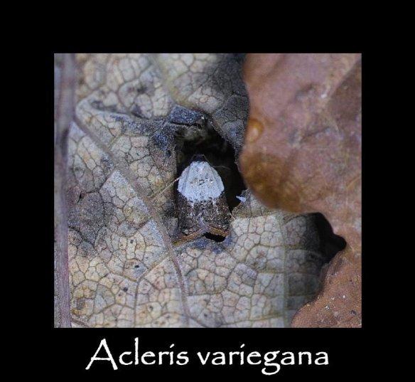 T Acleris variegana 2 (2)